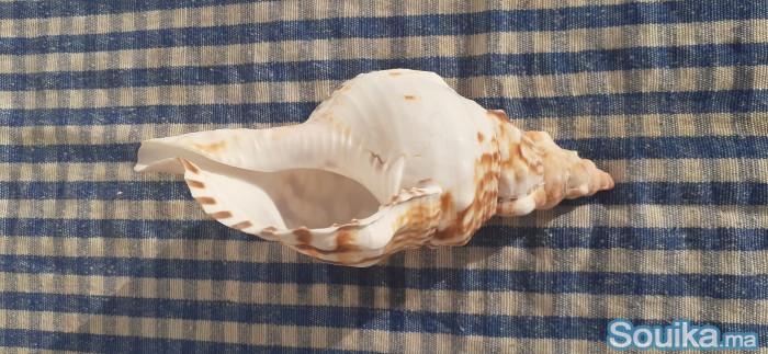 Coquillages naturels decoratifs