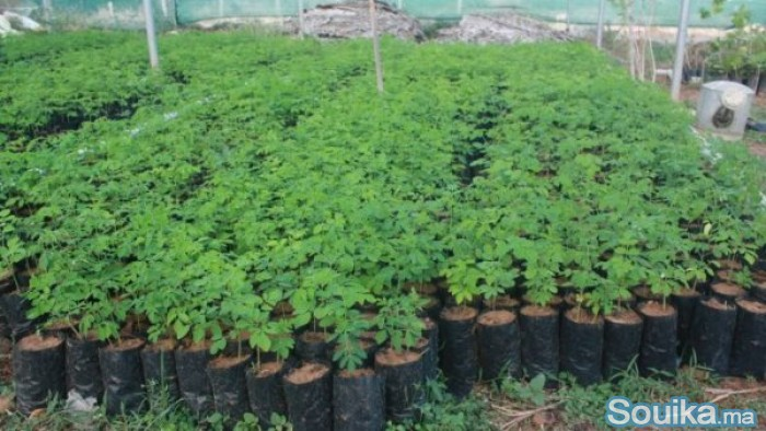 Plants de moringa naturab7