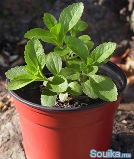 Plants de stevia naturab7
