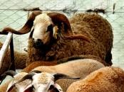 mouton ferme biologique benslimane kebchkharouf